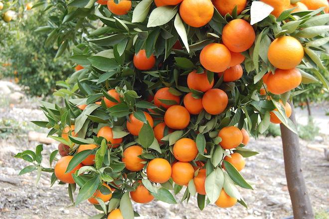 awesome orange tree desktop background