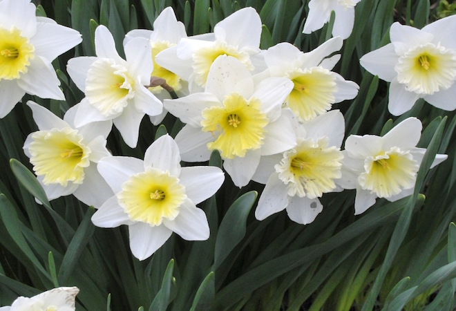 narcissus_flowers