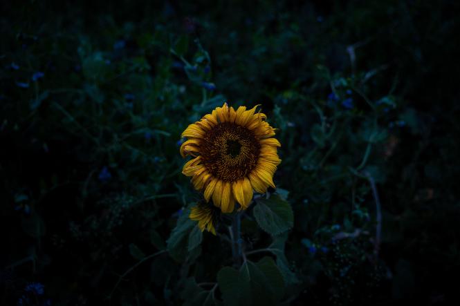Sunflower dying dark