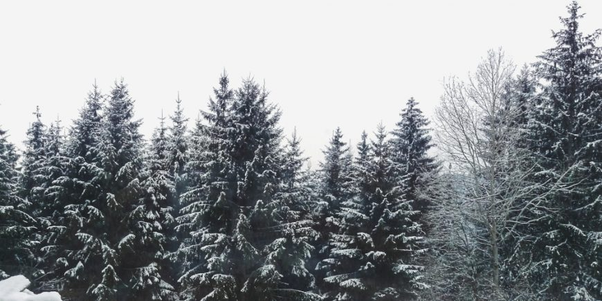pine-trees-849412 (1)
